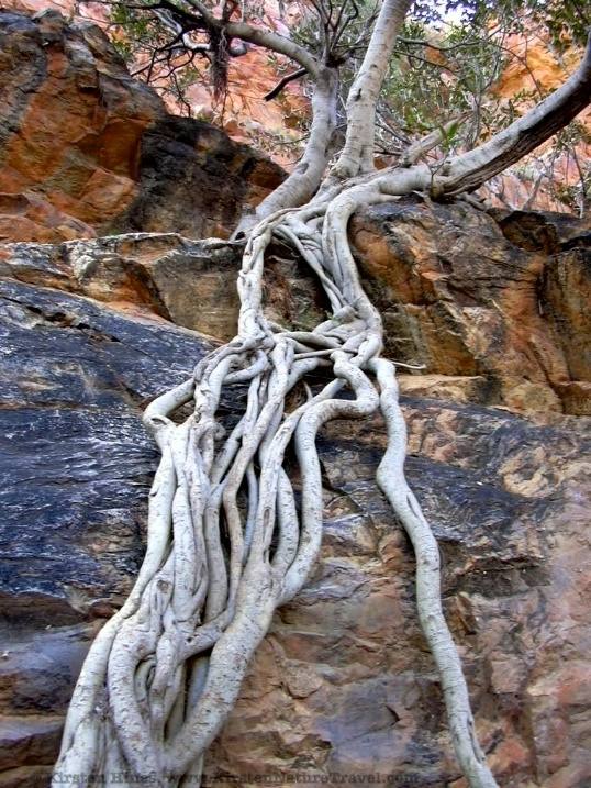 Rock-rooted tree