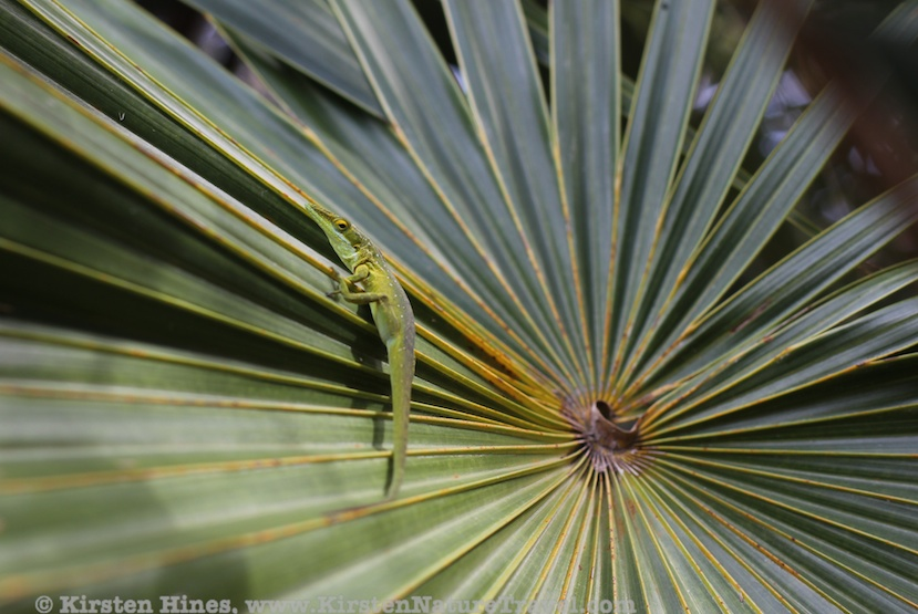 Bahamian Green Anole