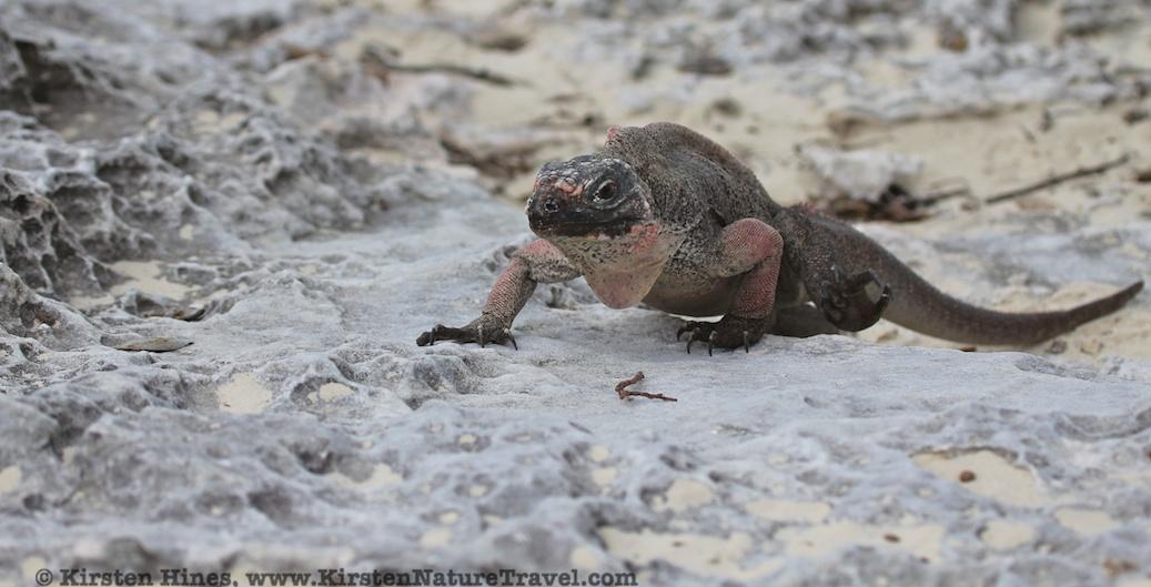Allen Cays Rock Iguana