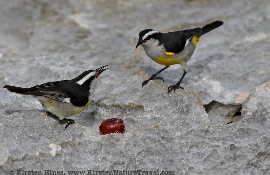 Bananaquits with grape