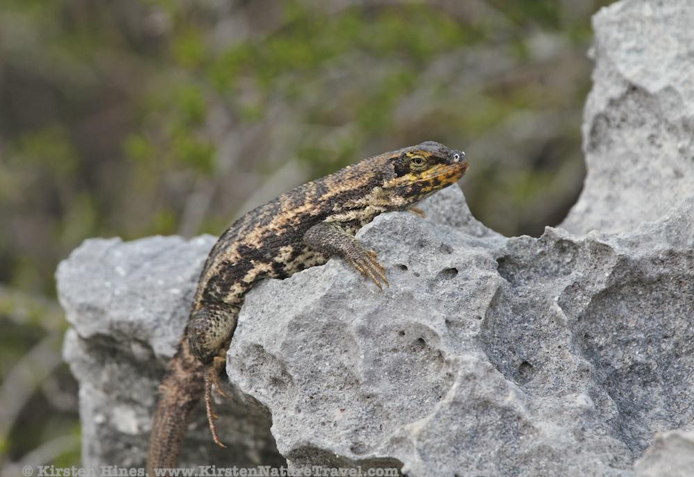 Curlytail Lizard