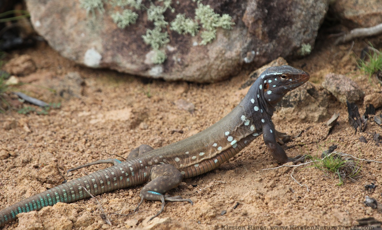 Bonaire Whiptail Lizard - male