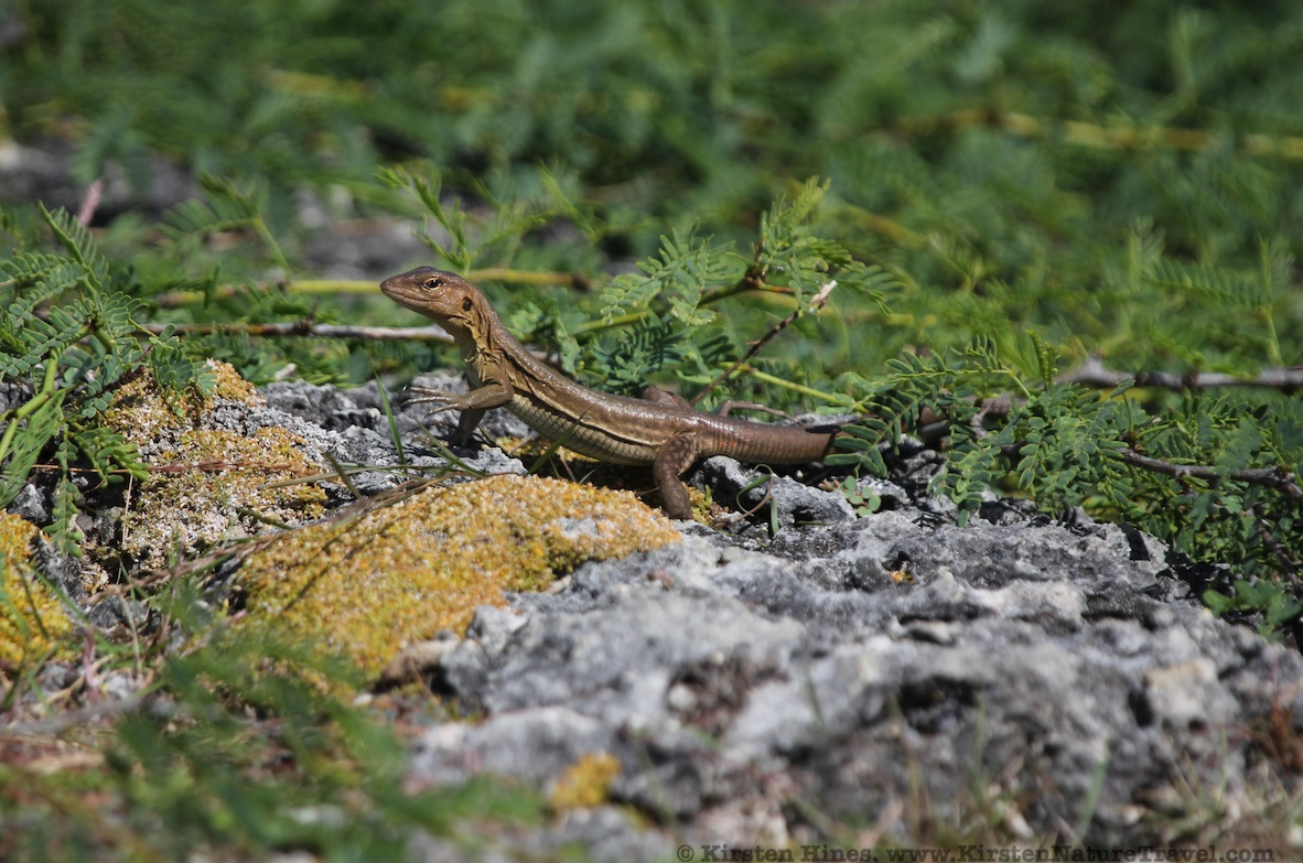Bonaire Whiptail Lizard - female