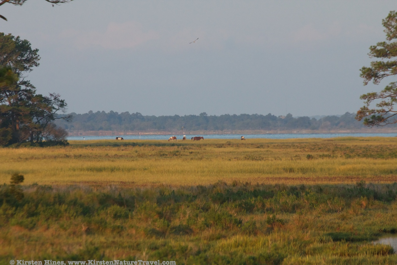 Chincoteague ponies in the distance