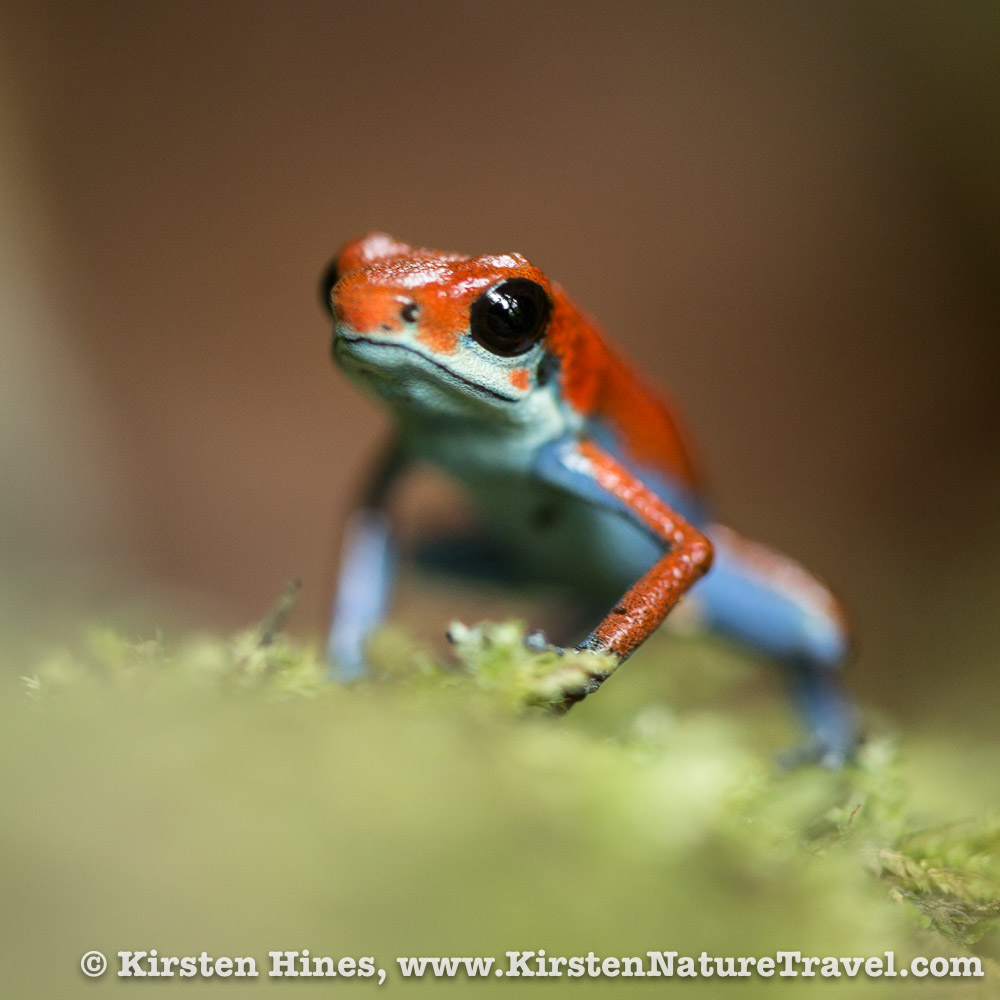 Strawberry Poison Frog, Blue & Red
