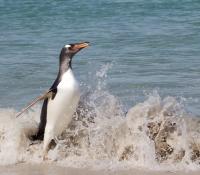 Surfing Gentoo