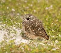 Owl Yawn