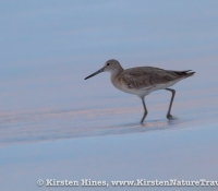 Willet at Dawn