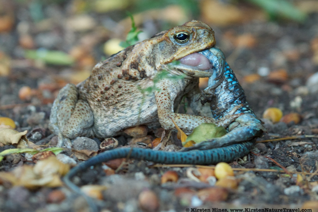 Cane Toad with Ameiva
