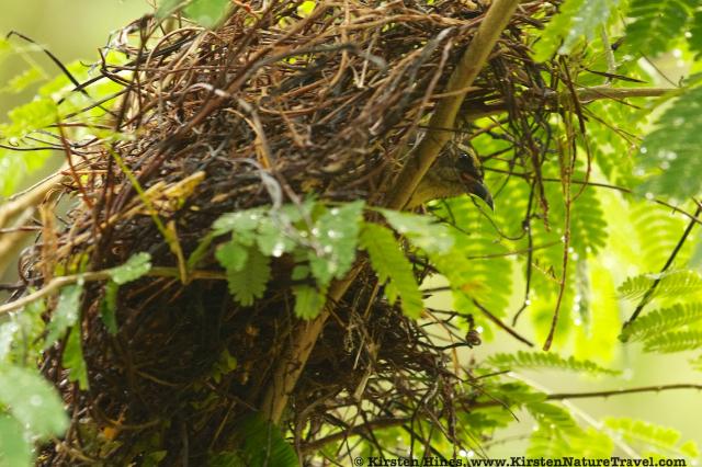 Bananaquit in nest
