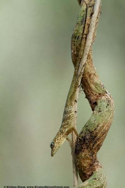 Crested Anole (Anolis aeneus)