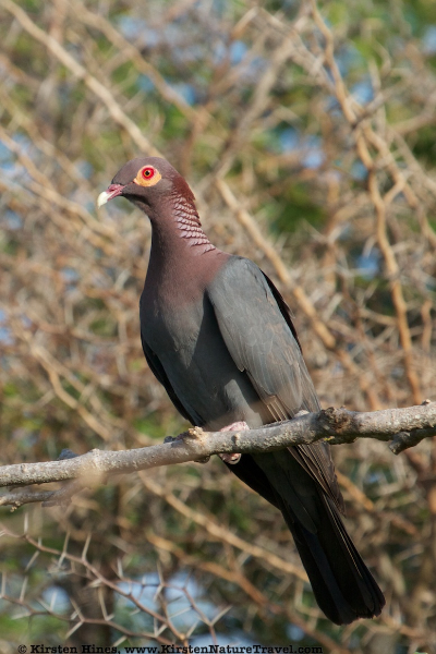 Scaly-naped Pigeon