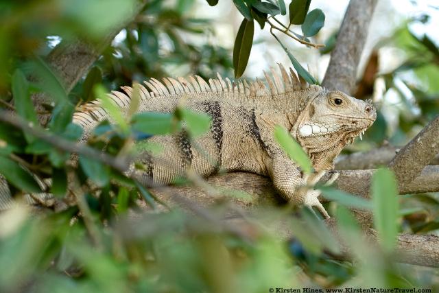 Iguana bedtime