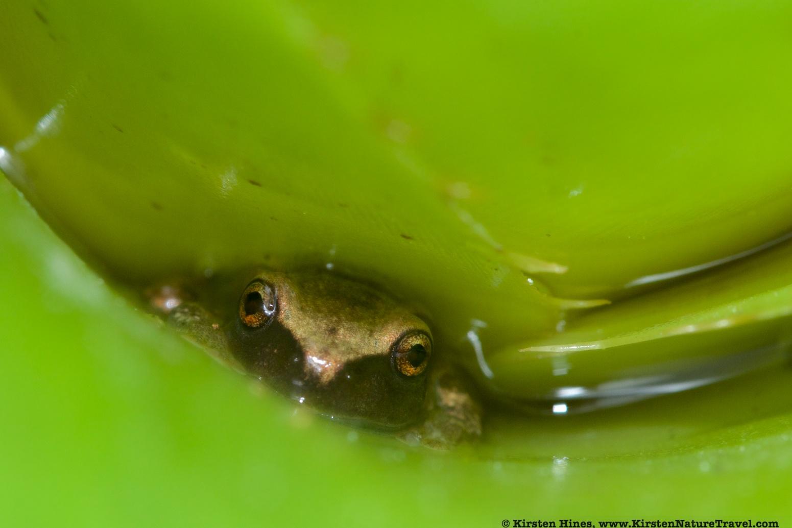 Lesser Antillean Frog
