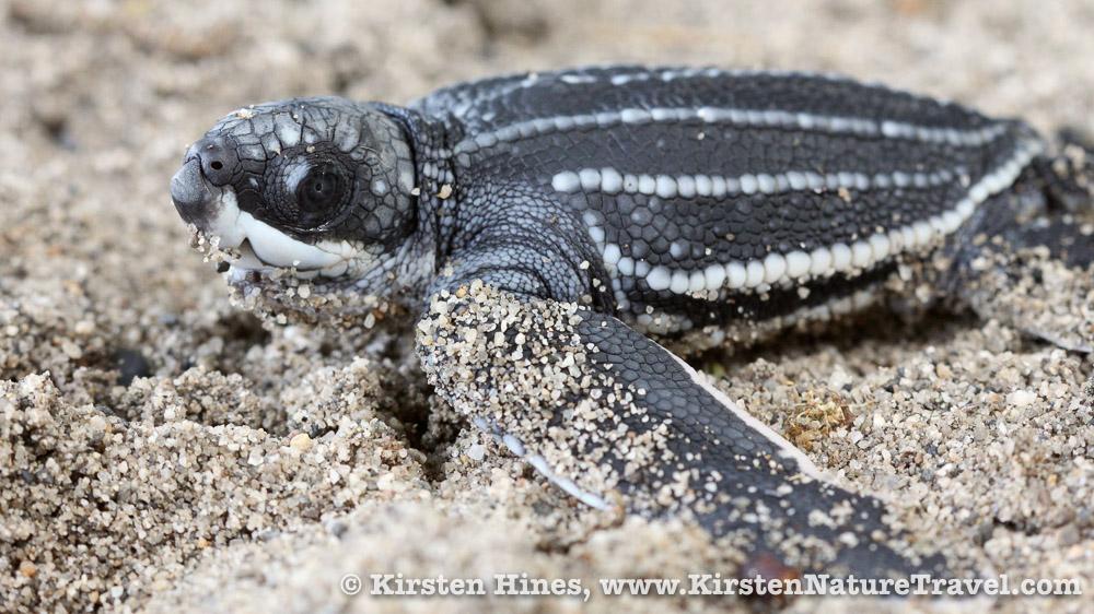 Hatchling Leatherback