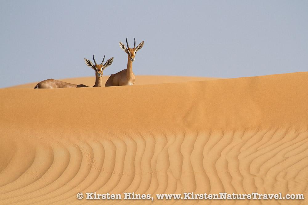Mountain Gazelles