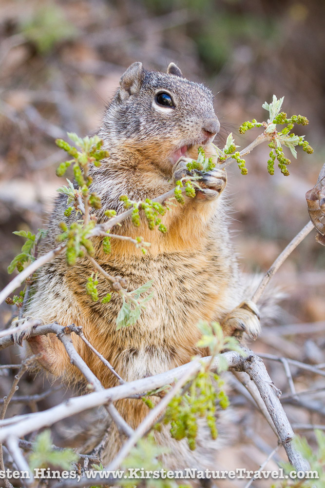Canyon Squirrel
