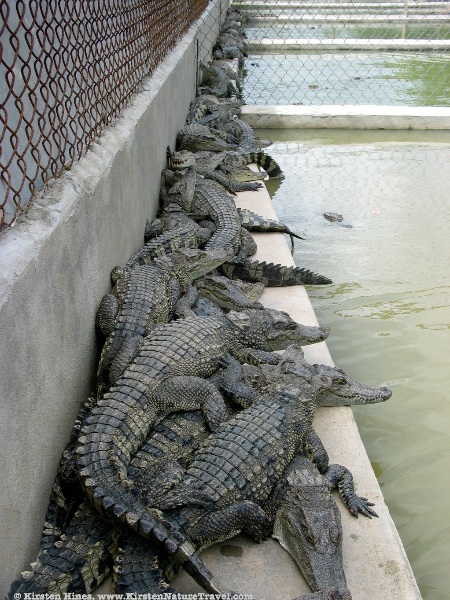 Siamese Crocodiles in a farm