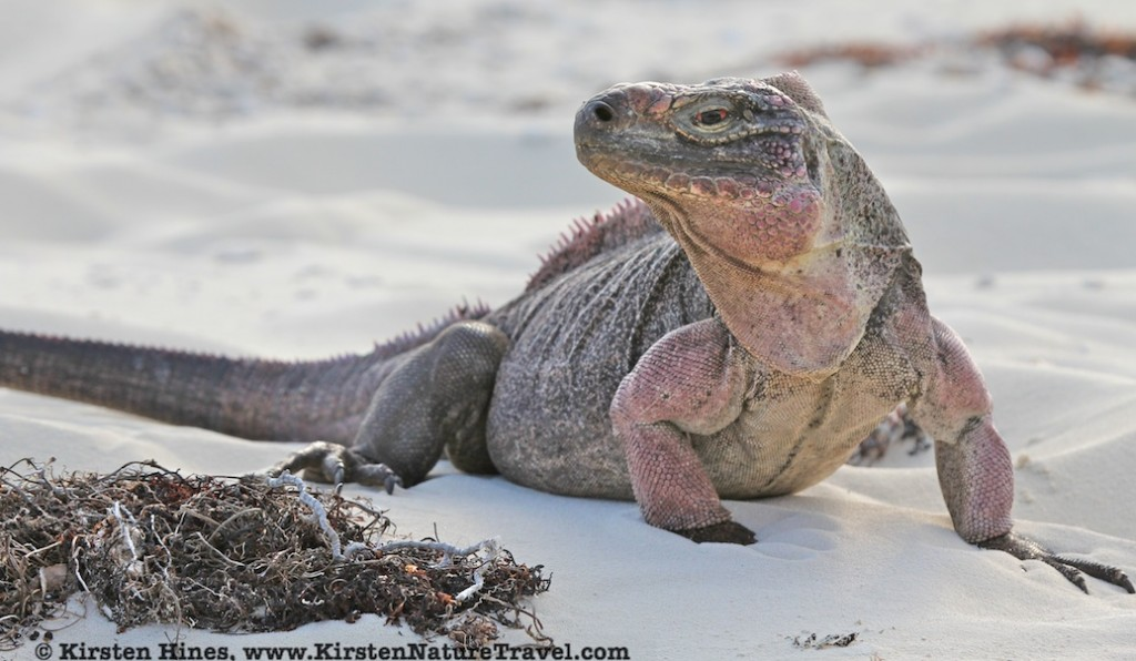 Cyclura on beach 3902