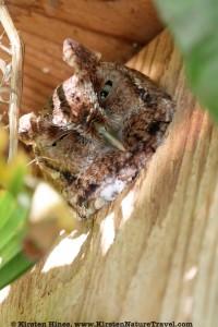 nesting screech owl