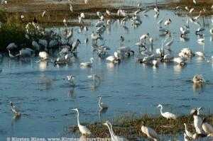 Mixed Flock (1)