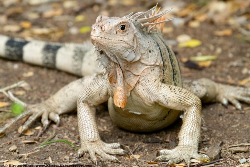 Green Iguana on Baradel Island.