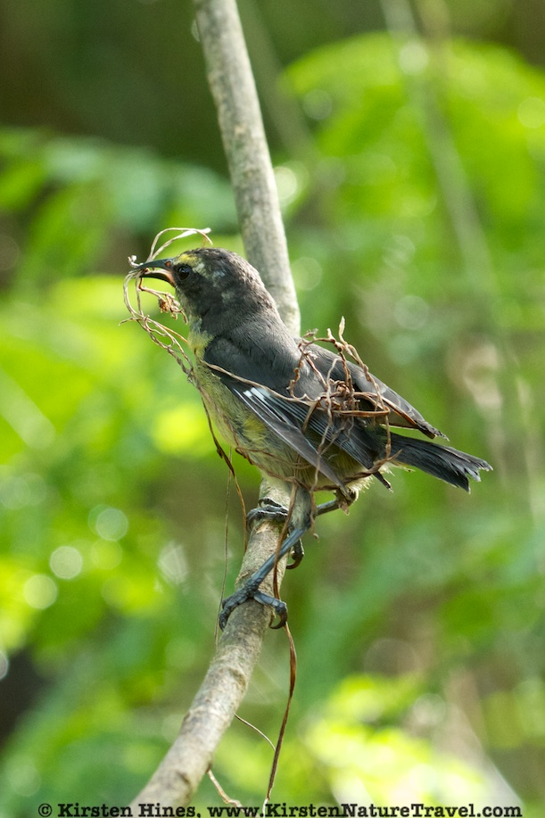 Bananaquit entwined in nesting material