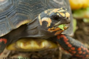 Footloose, the red-footed tortoise