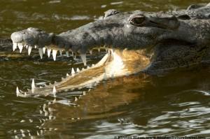 Jamaican crocodile (Crocodylus acutus) in the Black River.