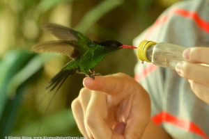 Red-billed Streamertail being fed at the Rocklands Bird Sanctuary.