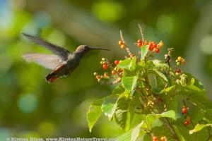 Jamaican Mango hummingbird at Marshall's Pen.