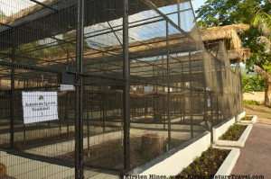 Jamaican Iguana headstart facility, Hope Zoo