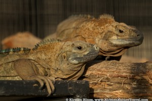 Jamaican Iguanas at the Hope Zoo headstart facility