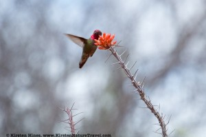 Anna's Hummingbird sipping from an Ocotillo flower.