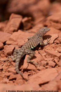 Greater Earless Lizard.