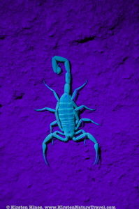 Scorpion under UV light at night