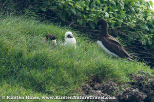 Brown booby chick and parents at Swan Cay.