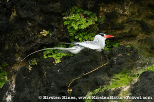 Red-billed tropicbird nesting at Swan Cay.