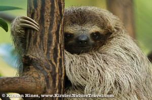 Pygmy Sloth clinging to a mangrove tree on Isla Escudo.