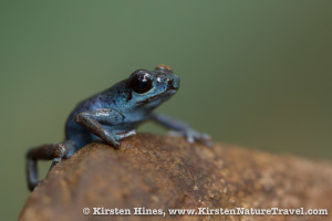 All blue color form of the Strawberry Poison-dart Frog at Cerro Brujo.