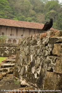 A black vulture on fort ruins at Portobelo; the customs house is in the background.