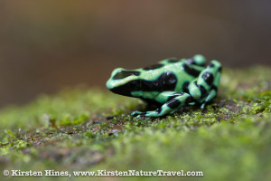 Green and Black Poison-dart Frog at Cerro Brujo.