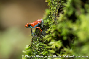 Isla Escudo color morph of Strawberry Poison-dart Frog.