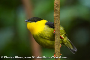 Male Golden-collared Manakin pausing during his courtship display.