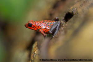 Strawberry poison-dart frog.