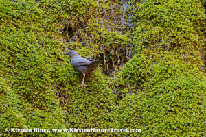 American Dipper foraging for insects in moss alongside Ribbon Falls.