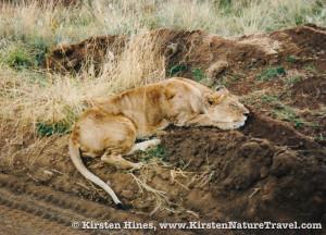 lion_Kenya