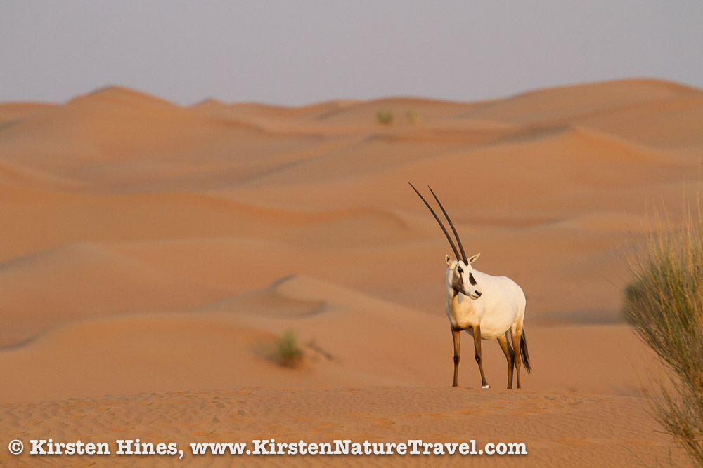 Arabian Oryx amongst the sand dunes.