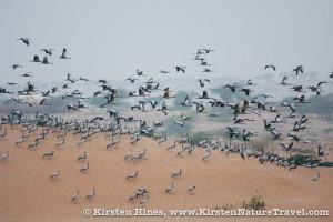 Demoiselle Cranes arriving in Khichan at dawn.