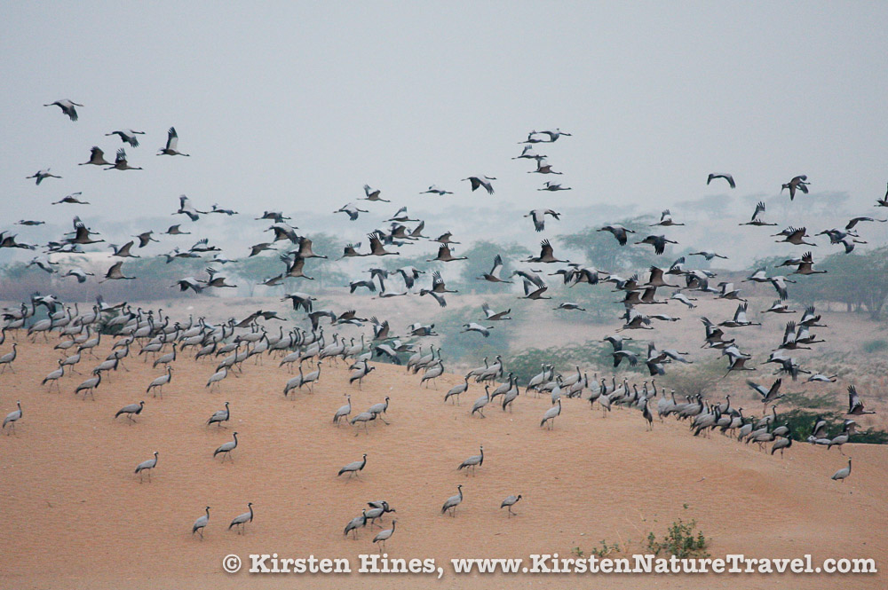 Cranes of Khichan, India | Nature Writing & Photography by